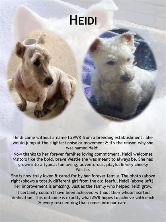 Success story of Westie Heidi being rescued, rehabilitated & adopted